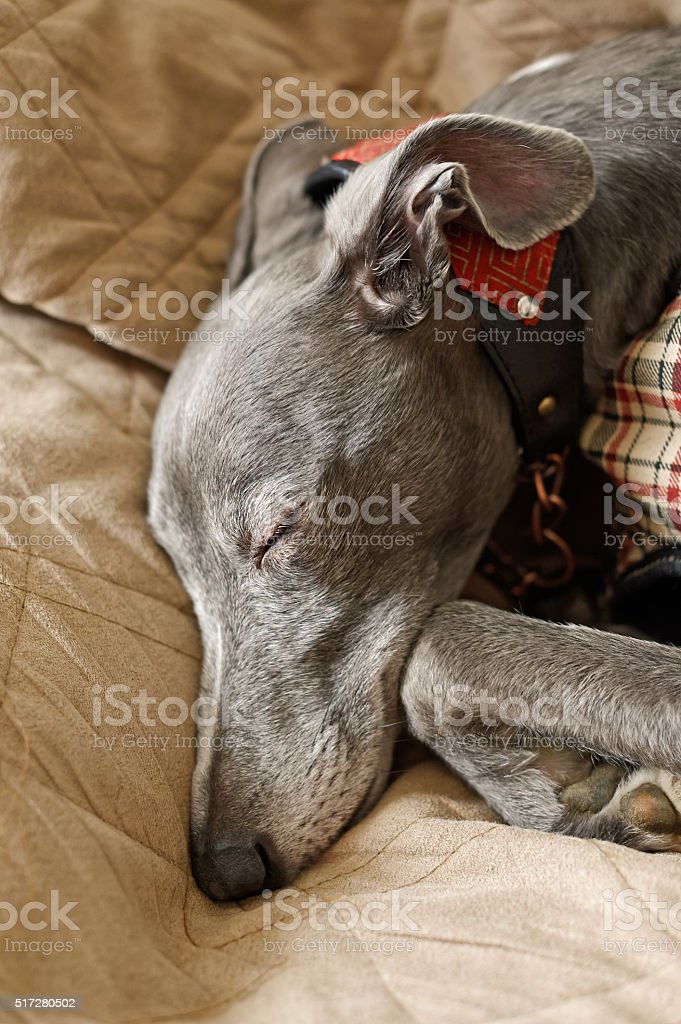 Sleeping Whippet in Sepia stock photo