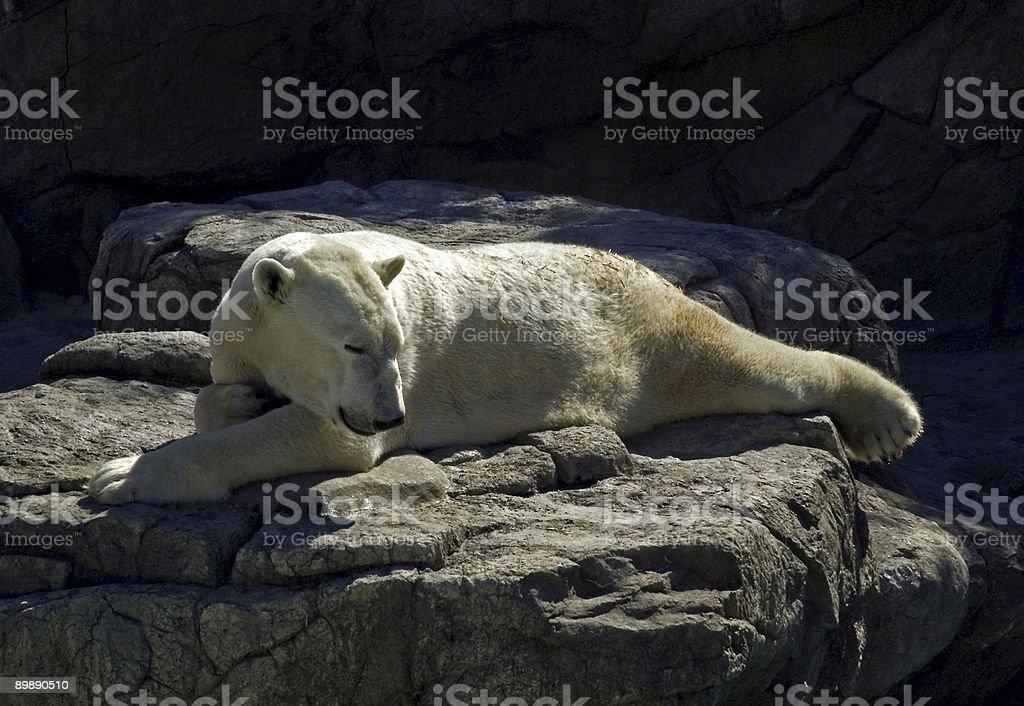 Sleeping White Giant - Polar Bear royalty-free stock photo