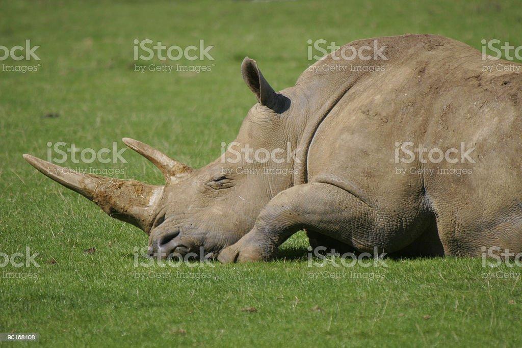 Sleeping White Rhino stock photo