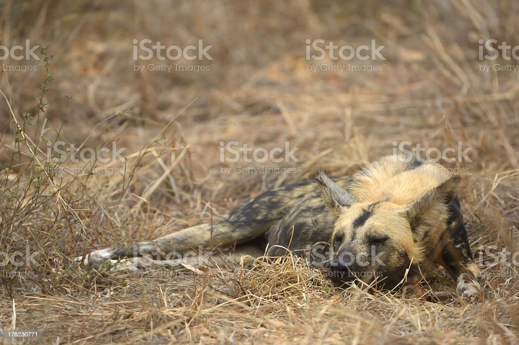 Sleeping Wilddog stock photo