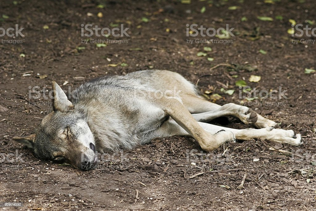 Sleeping Wolf royalty-free stock photo