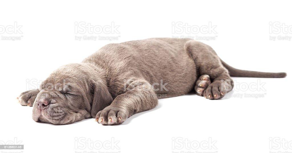 Sleeping young puppie italian mastiff cane corso (1 month) stock photo