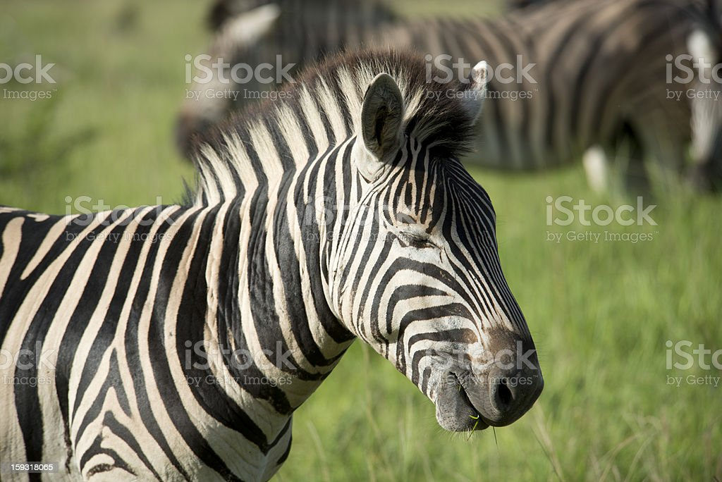 Sleeping Zebra royalty-free stock photo