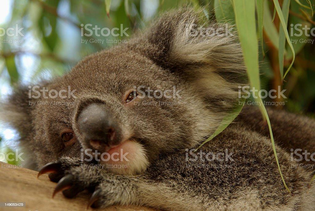 Sleepy Baby Koala royalty-free stock photo