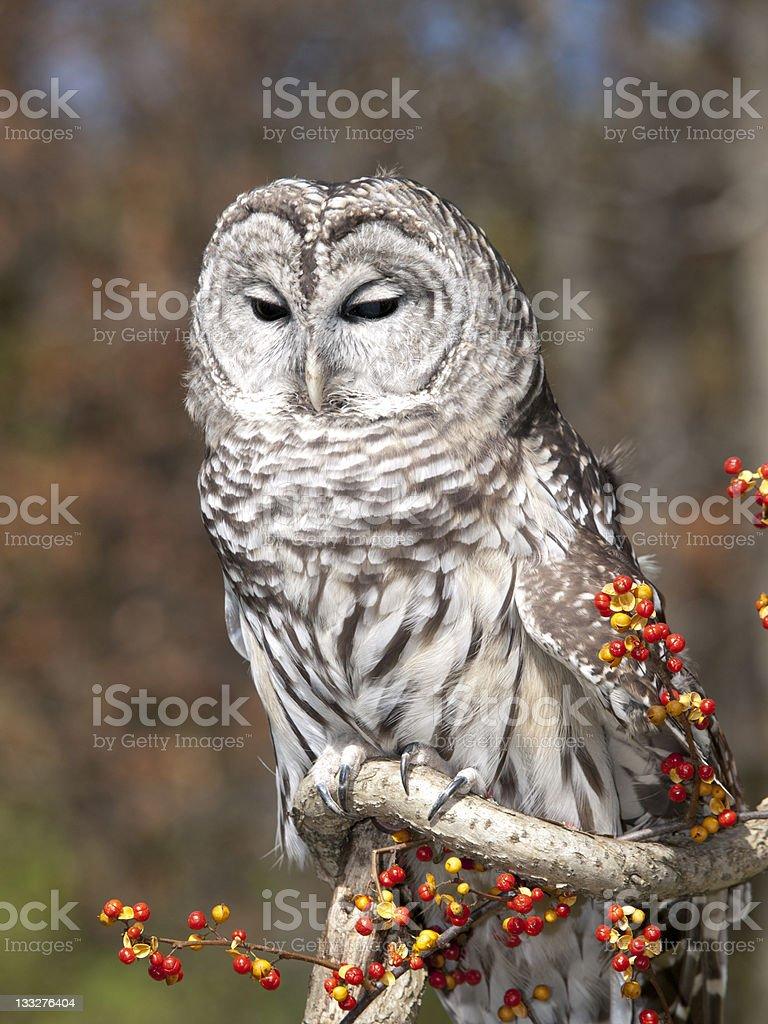 Sleepy Barred Owl stock photo