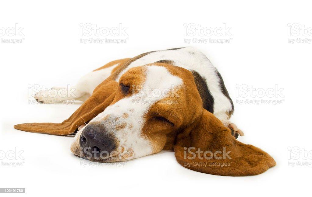 Sleepy basset hound laying on a white surface royalty-free stock photo