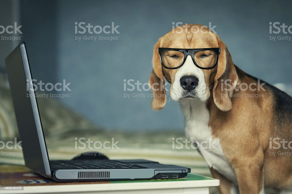 Sleepy beagle dog in funny glasses near laptop stock photo
