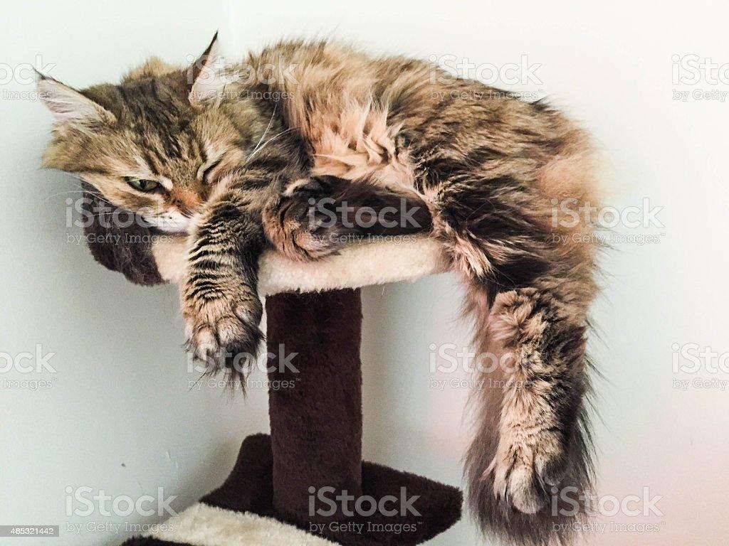 Sleepy chat photo libre de droits