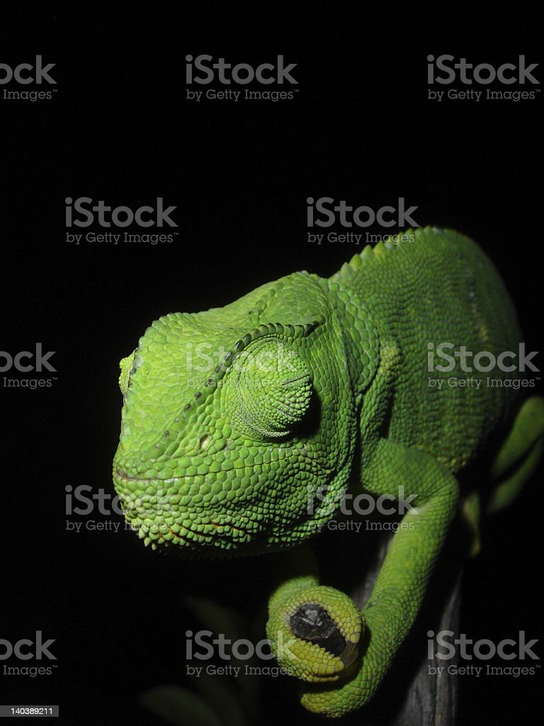 Sleepy Chameleon stock photo