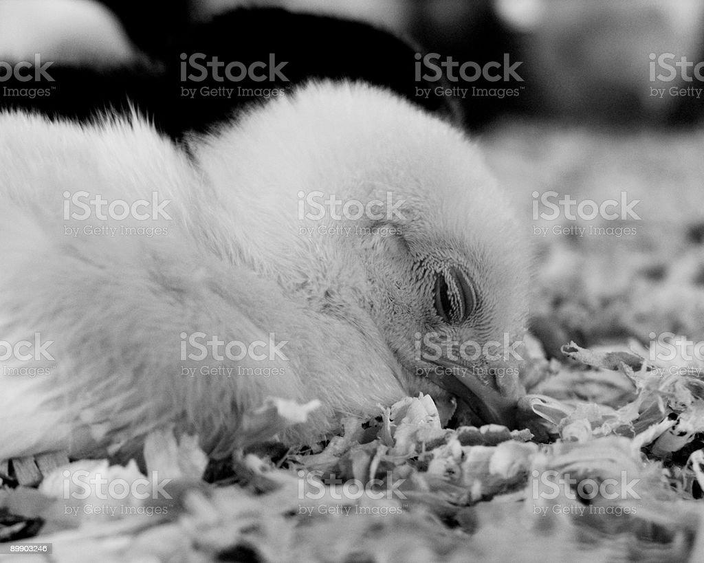Sleepy chick stock photo