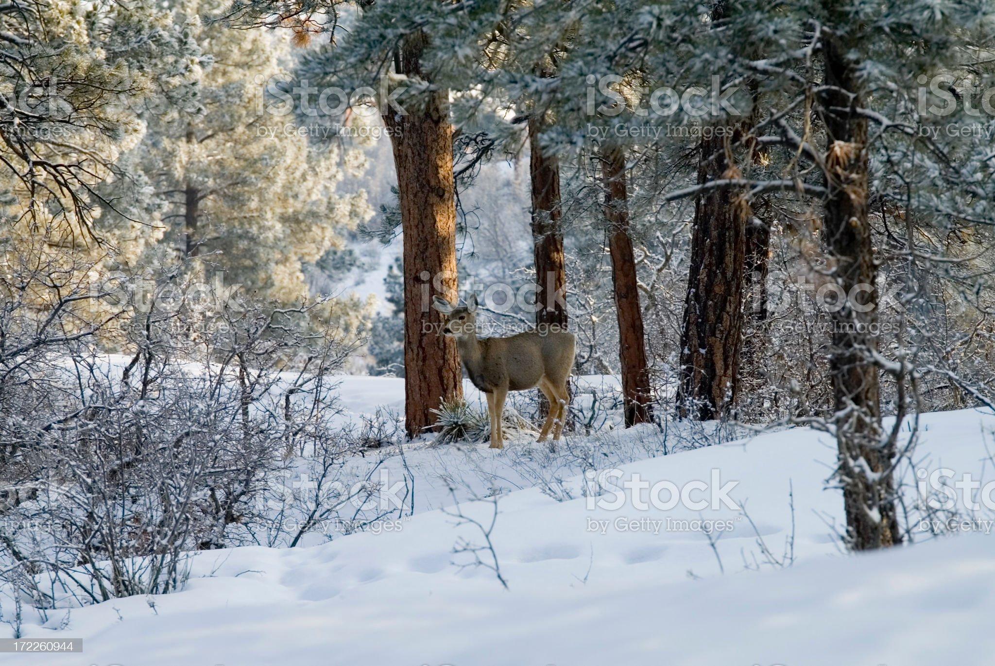 Sleepy Doe Mule Deer in Deep Colorado Snow royalty-free stock photo