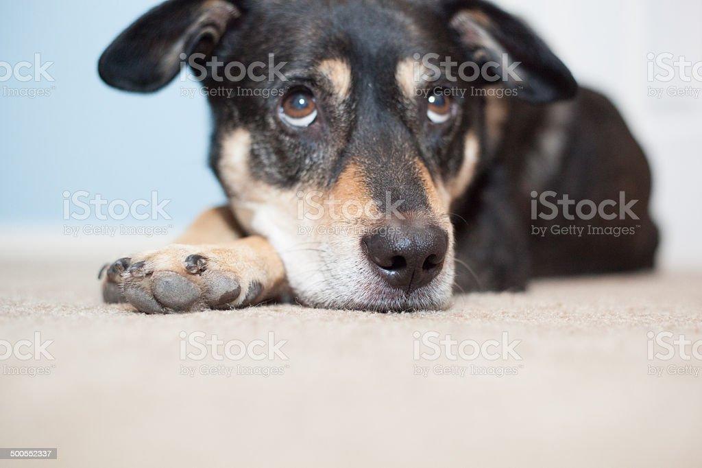 sleepy dog royalty-free stock photo
