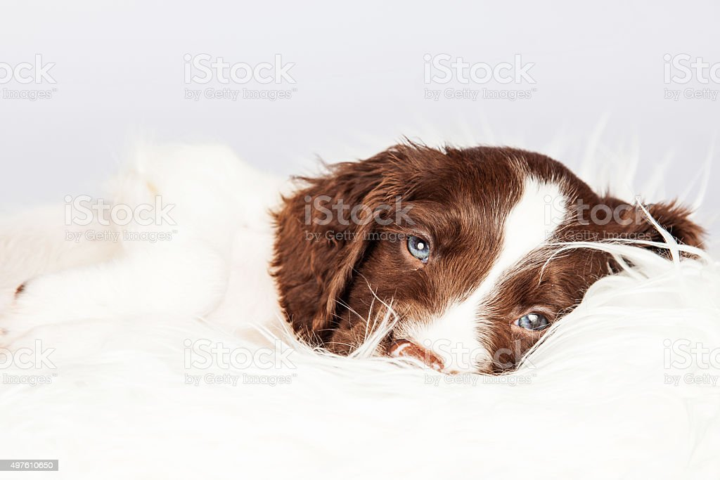 Sleepy English Springer Spaniel Puppy Lying On Fur stock photo