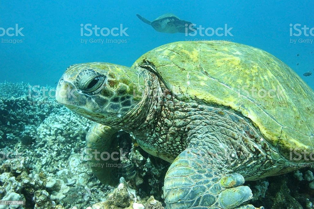 Sleepy Eyed Tortue verte photo libre de droits