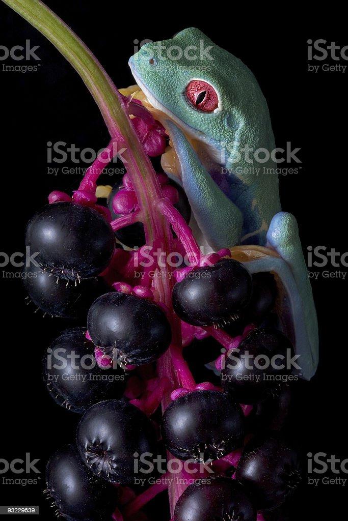 Sleepy frog on berries stock photo