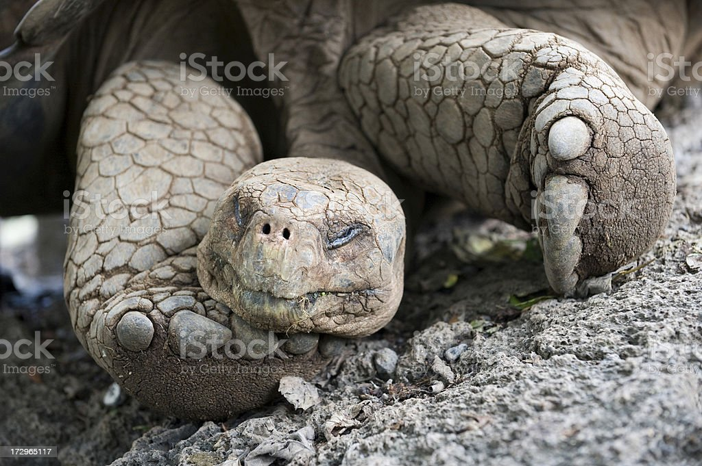 Sleepy Giant Galapagos tortoise stock photo