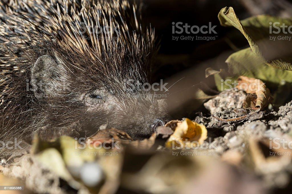 Sleepy hedgehog close up in autumn leaves stock photo