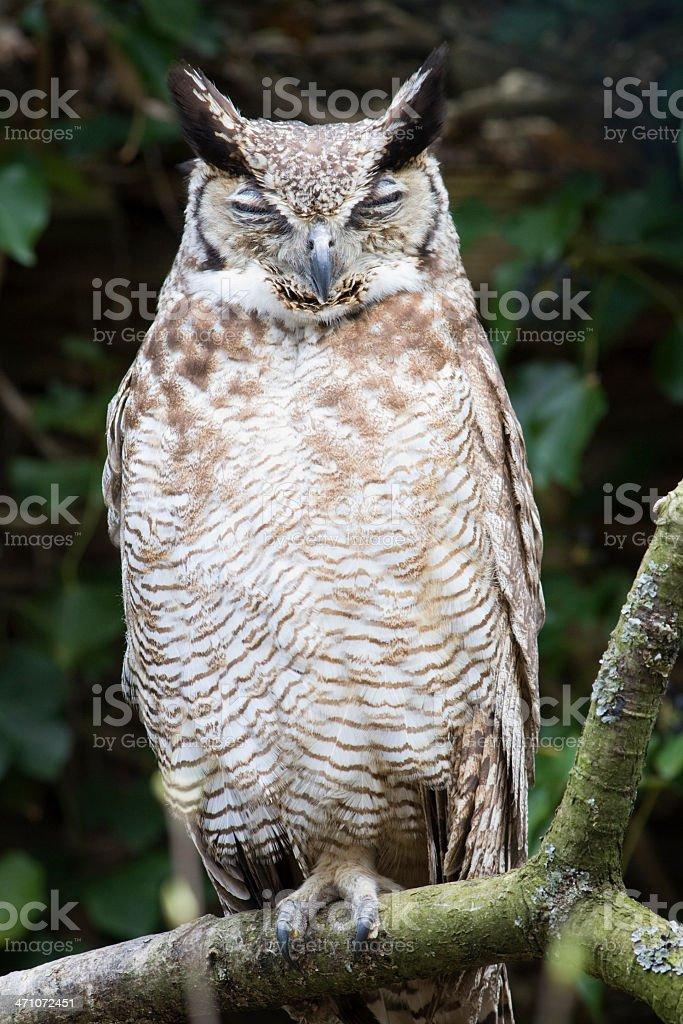 Sleepy Horned Owl royalty-free stock photo