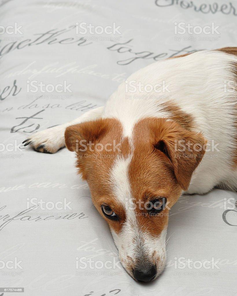 Sleepy Jack Russell puppy stock photo