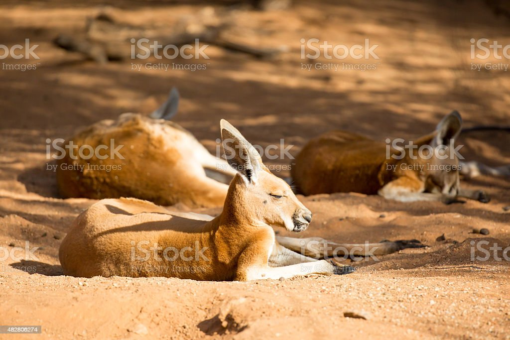 Sleepy Kangaroo stock photo