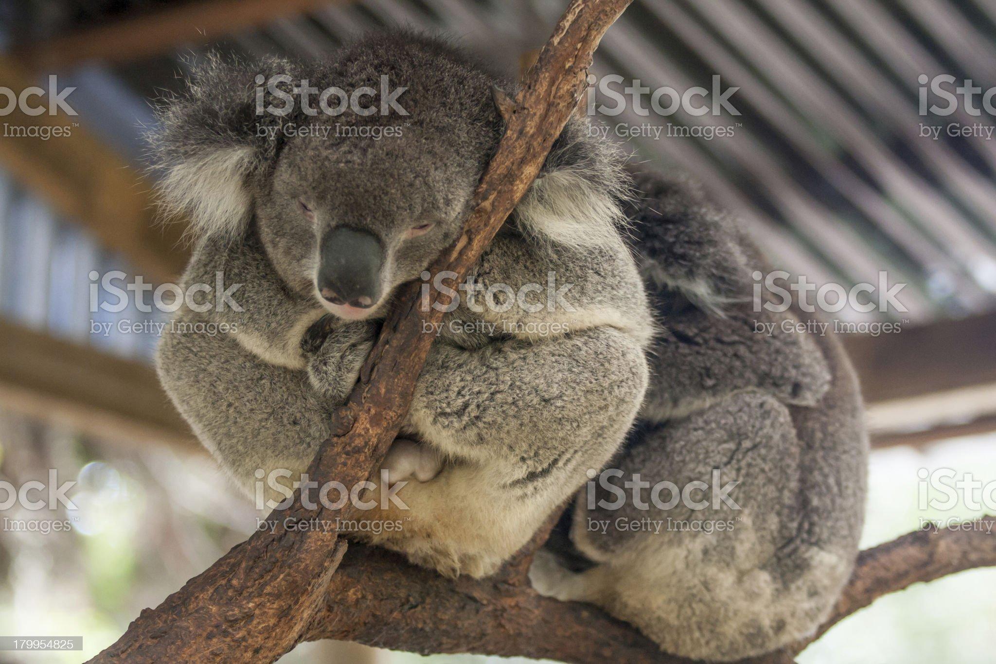 Sleepy koala bear from zoo in Sydney, Australia. royalty-free stock photo