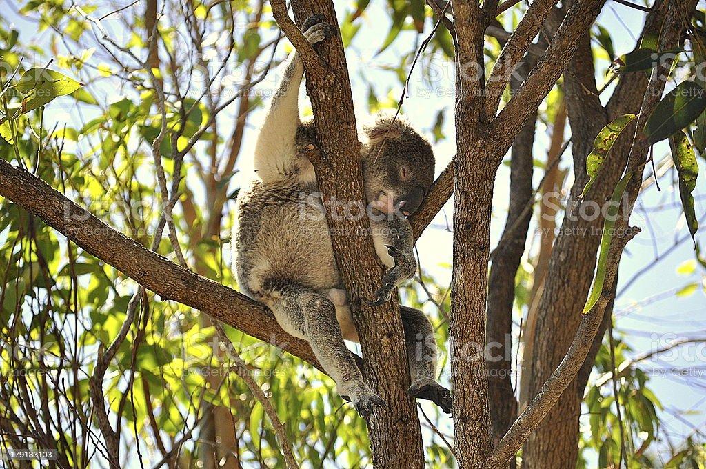 Sleepy Koala In Tree royalty-free stock photo