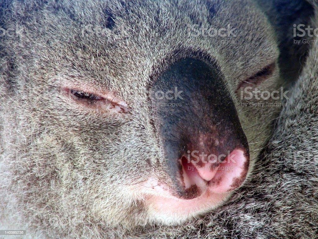 Sleepy Koala royalty-free stock photo