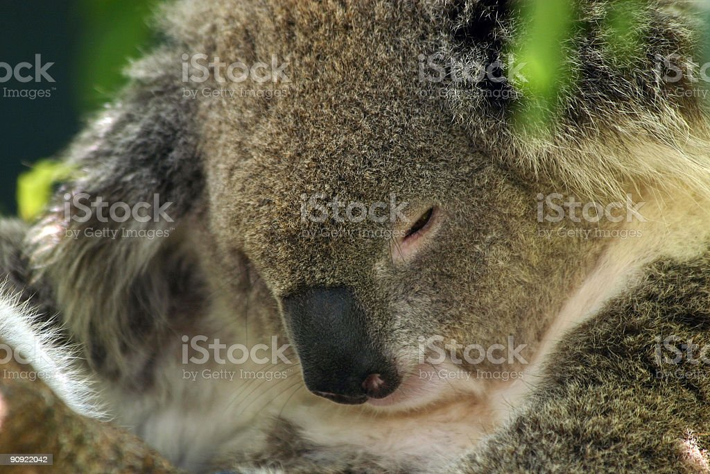 sleepy koala royalty-free stock photo