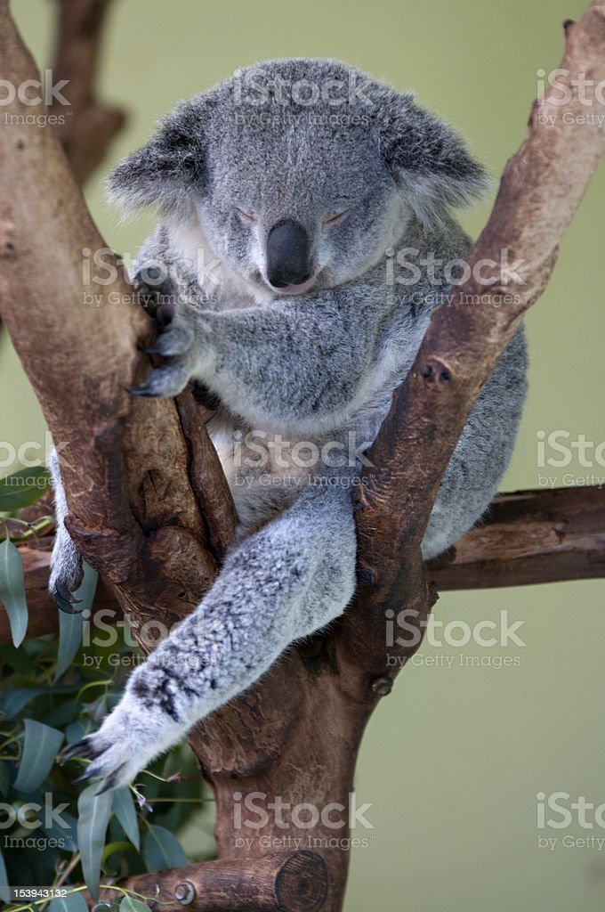 Sleepy koala sitting on a tree royalty-free stock photo