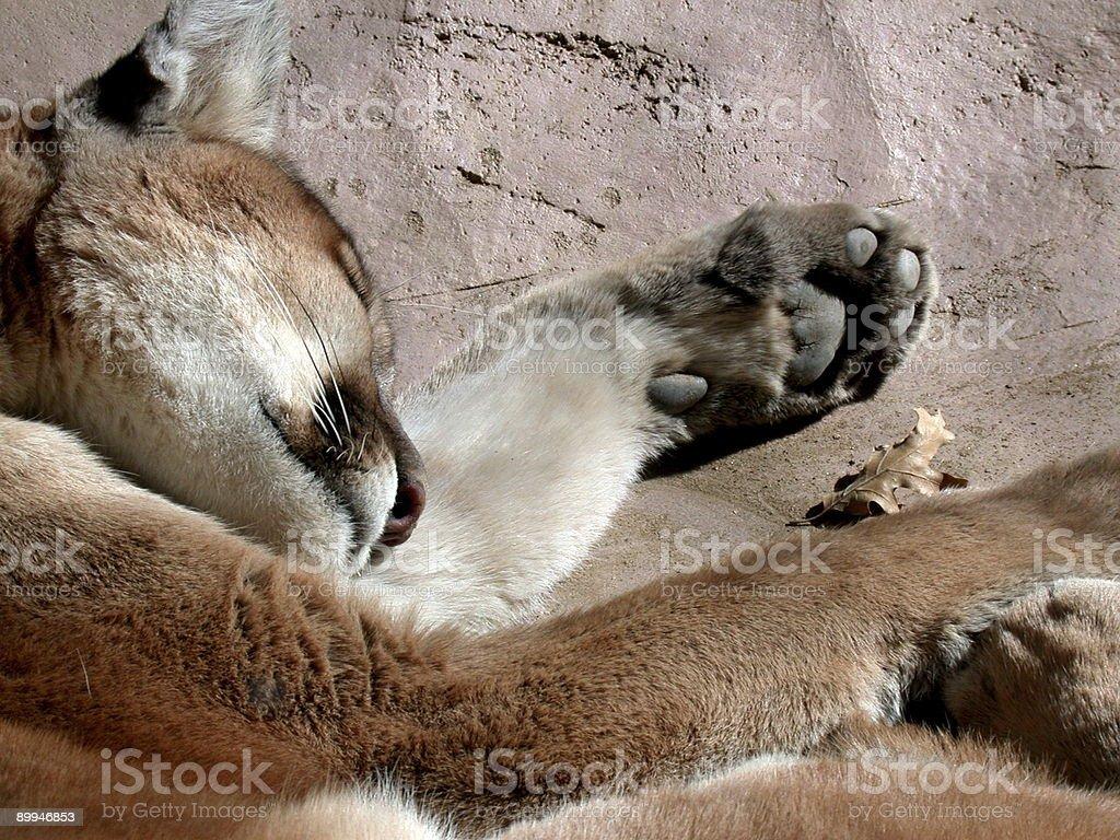 Sleepy Lion stock photo
