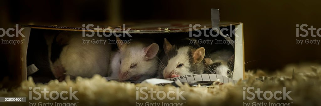 Sleepy mice in a cardboard box stock photo