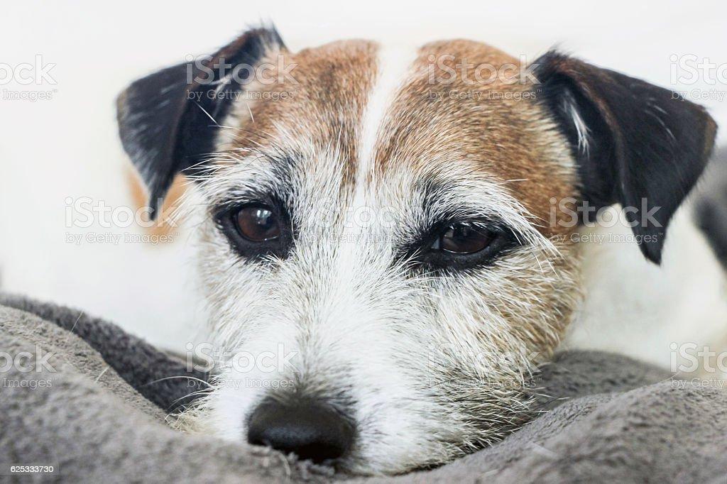 sleepy Parson Russell Terrier dog stock photo