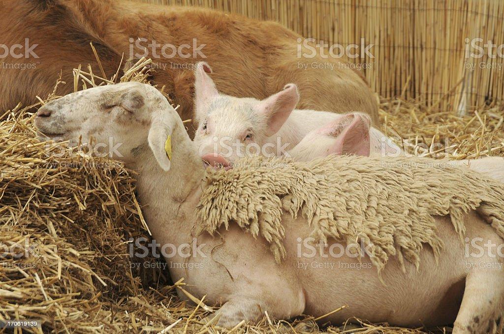 sleepy pig lying on sheep stock photo