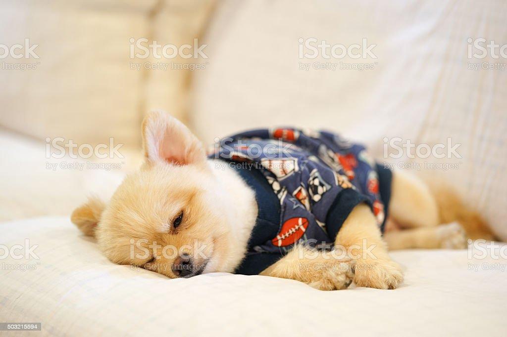 Sleepy pomeranian wearing dog t-shirt napping on the sofa stock photo