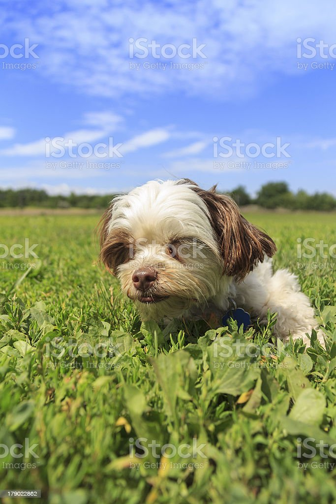 Sleepy Puppy Dog in the Park royalty-free stock photo