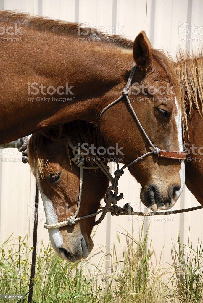 Sleepy Ranch Horses royalty-free stock photo