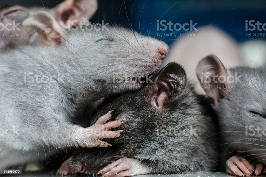 sleepy rat stock photo