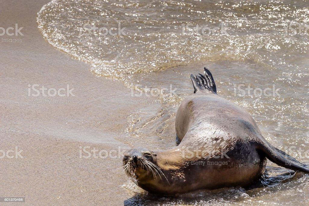 Sleepy Sea Lion stock photo