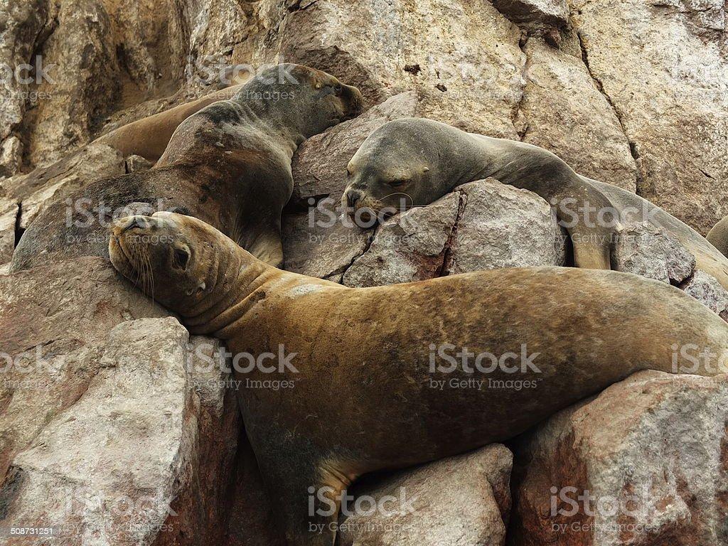 Sleepy Sea Lions stock photo