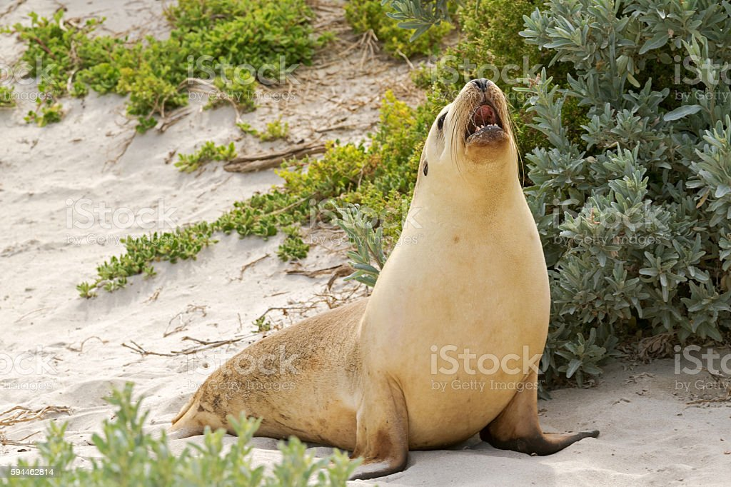 Sleepy time for Australian Sea Lion yawning with mouth opened stock photo