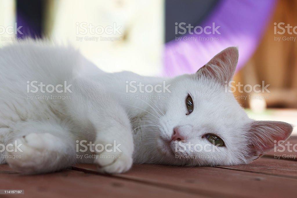 Sleepy White Cat stock photo