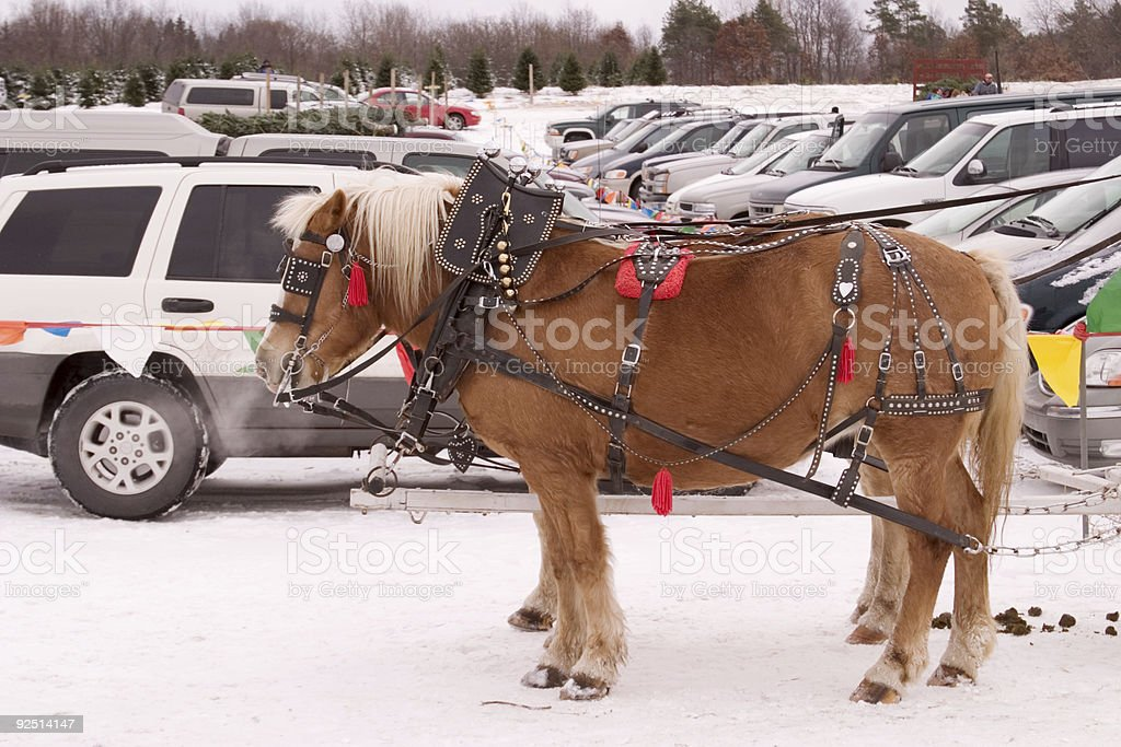 Sleigh horses by cars royalty-free stock photo