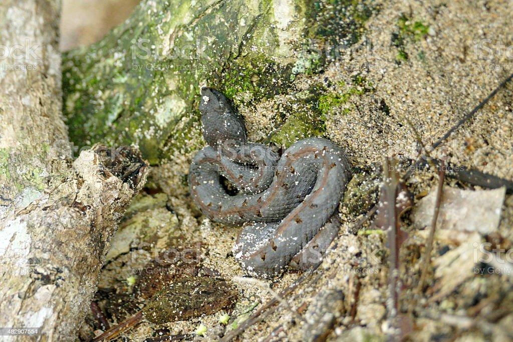 Slender hognosed pitviper stock photo