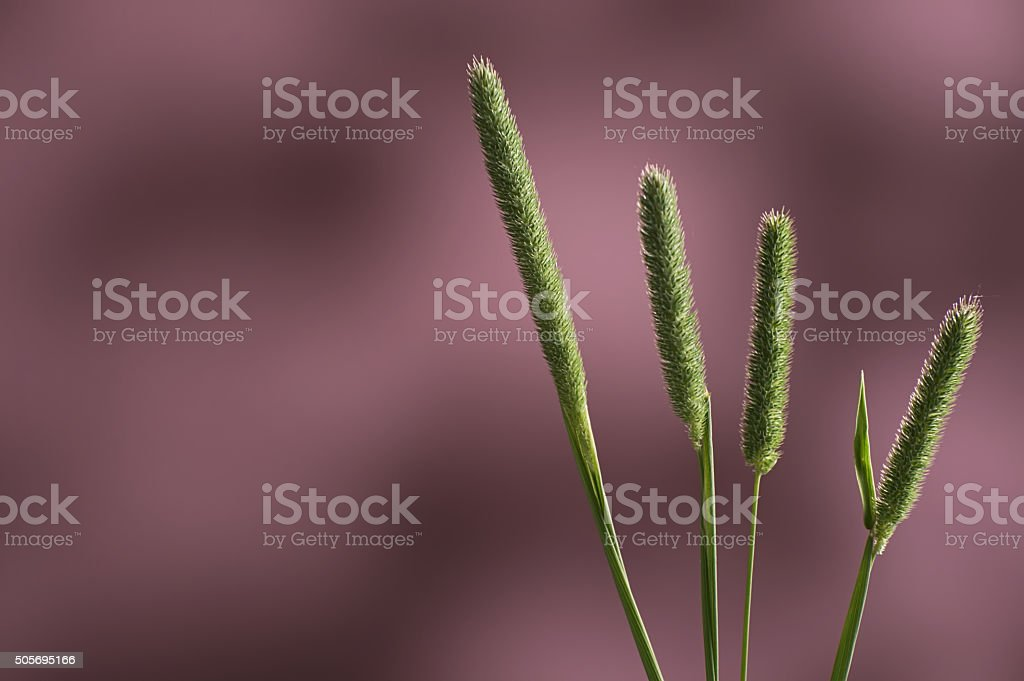 Slender meadow foxtail green tall grass against pink background stock photo