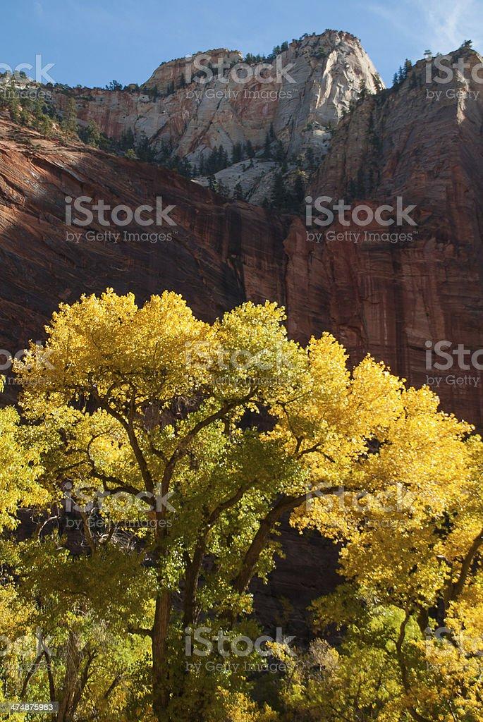 Slhouette Cottonwood Autumn Temple of Sinavava Zion National Park Utah stock photo