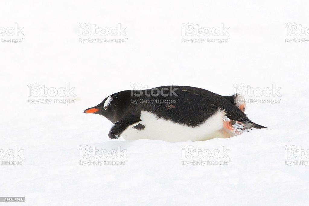 Sliding Penguin stock photo