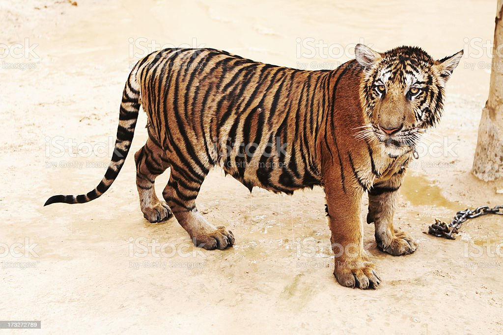 Slightly wet tiger looking at the camera royalty-free stock photo