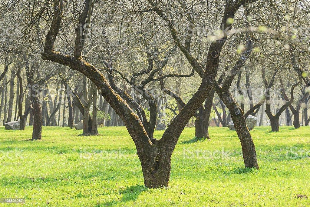 Slingshot form naked fruit tree in spring arboretum stock photo