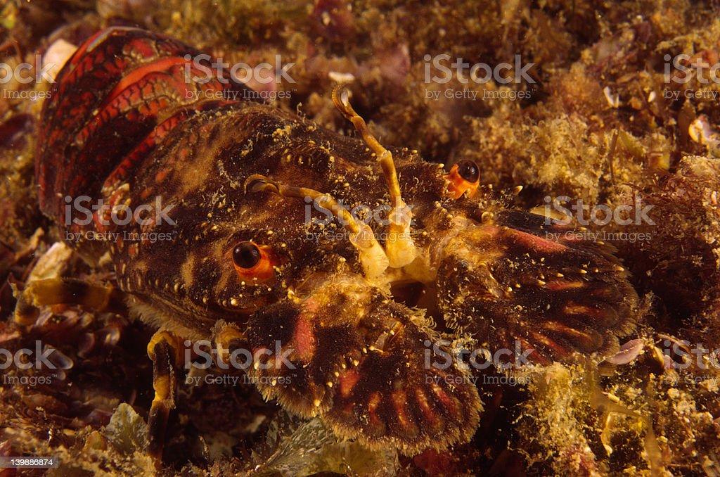 Slipper lobster stock photo