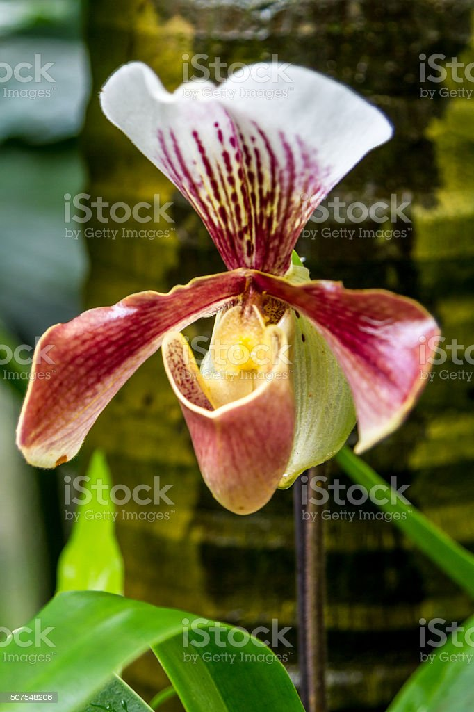 Slipper orchid of the genus Paphiopedilum stock photo